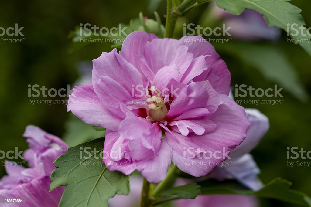 beautiful violet hibiscus in garden stock photo