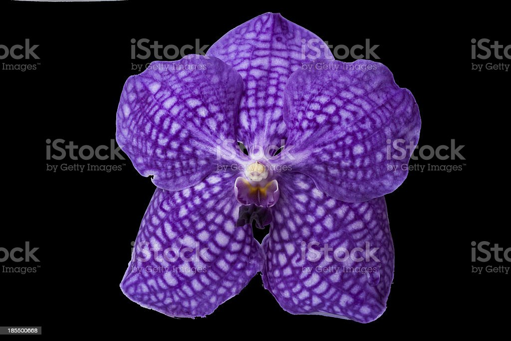Beautiful violet orchid royalty-free stock photo