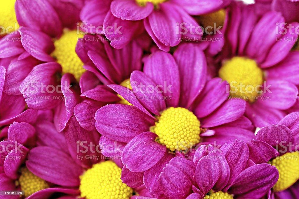 Beautiful violet red dahlia flowers.Closeup royalty-free stock photo