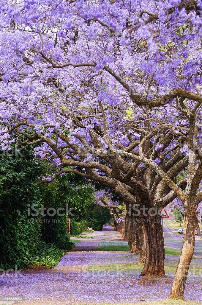 Beautiful violet vibrant jacaranda in bloom. stock photo