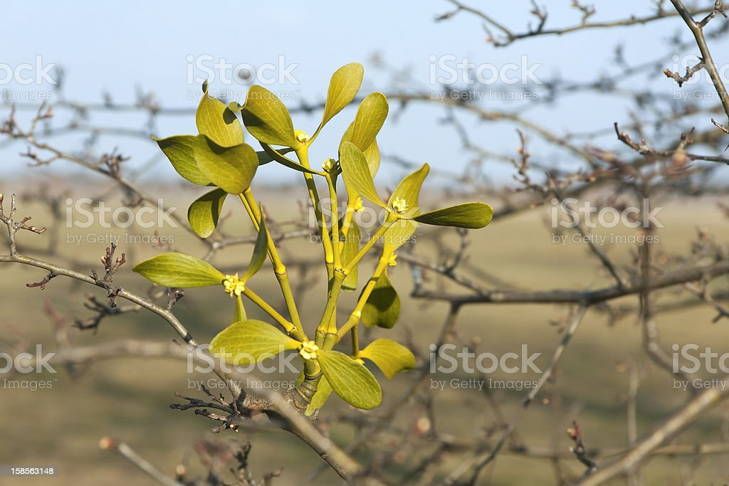 Beautiful Viscum stock photo
