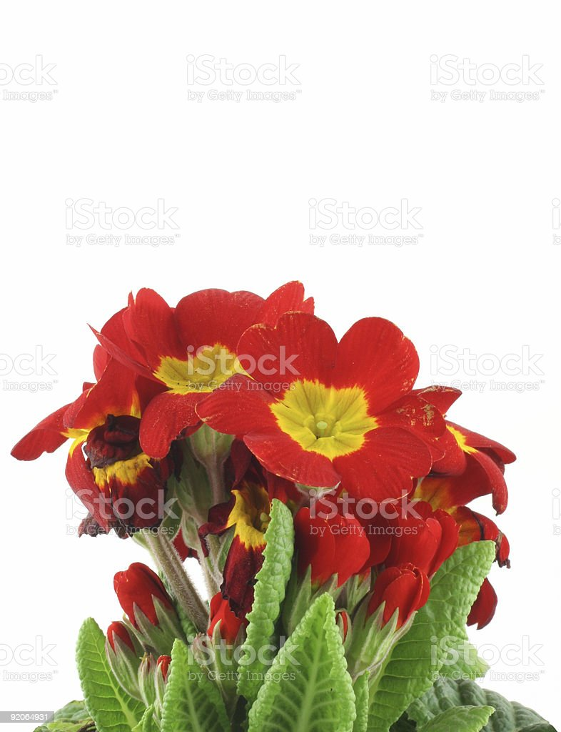 beautiful vivid flowers on white background royalty-free stock photo