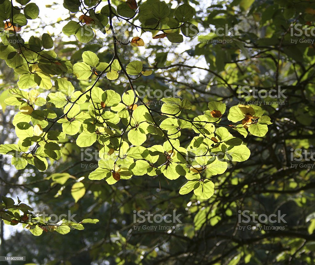Beautiful vivid green leaves royalty-free stock photo