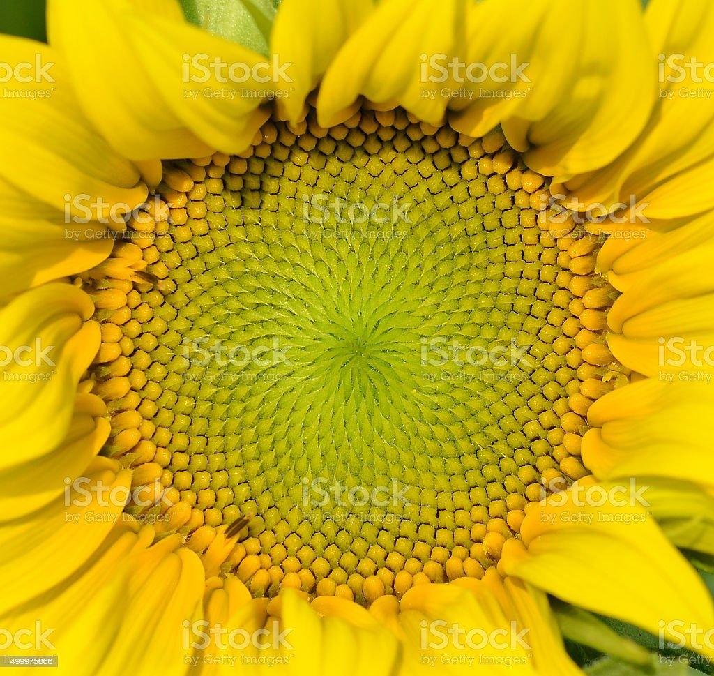 beautiful warm sunflower close stock photo