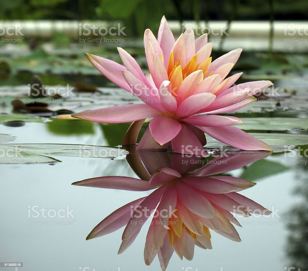 Beautiful Water Lily in a Pond stock photo