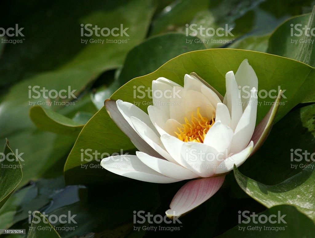 beautiful water lily stock photo