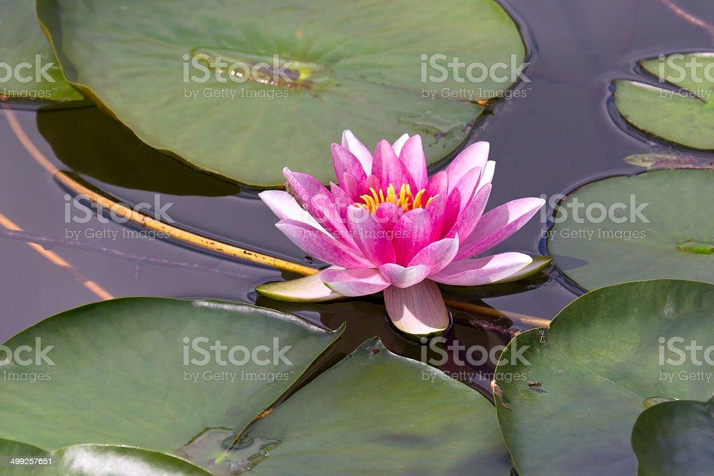 Beautiful Water Lily royalty-free stock photo