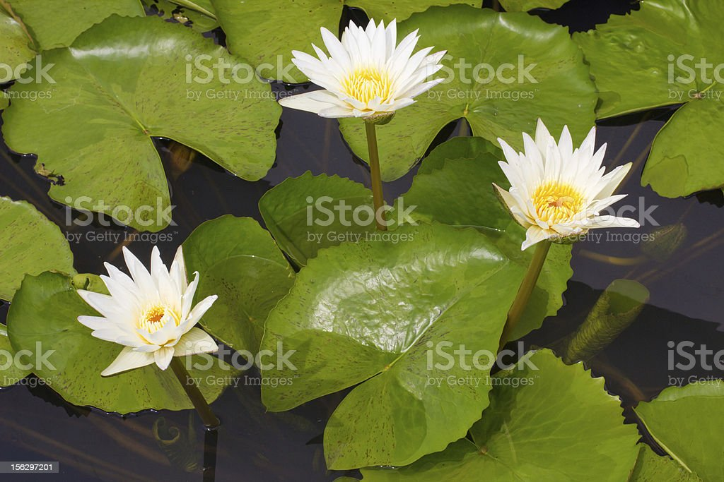 Beautiful water lily white color royalty-free stock photo