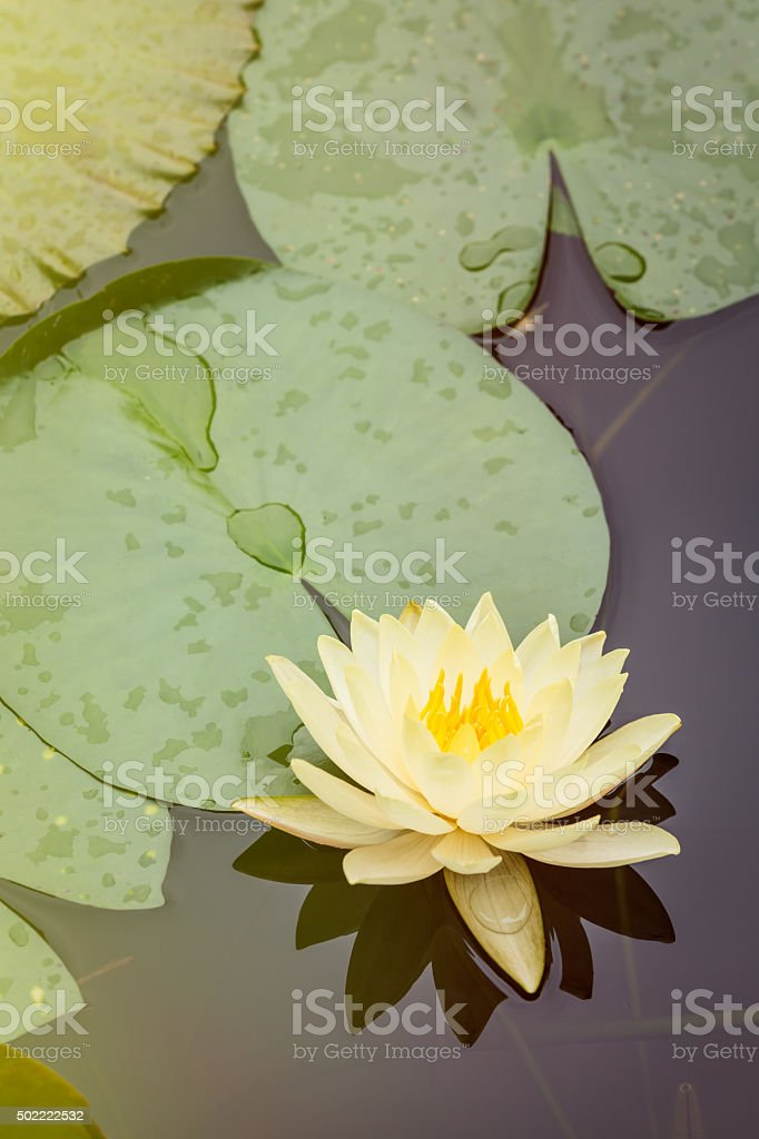 Beautiful waterlily flower in full bloom in the pond stock photo