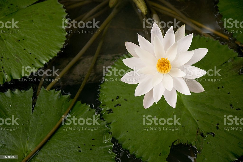 Beautiful Waterlily in Thailand royalty-free stock photo