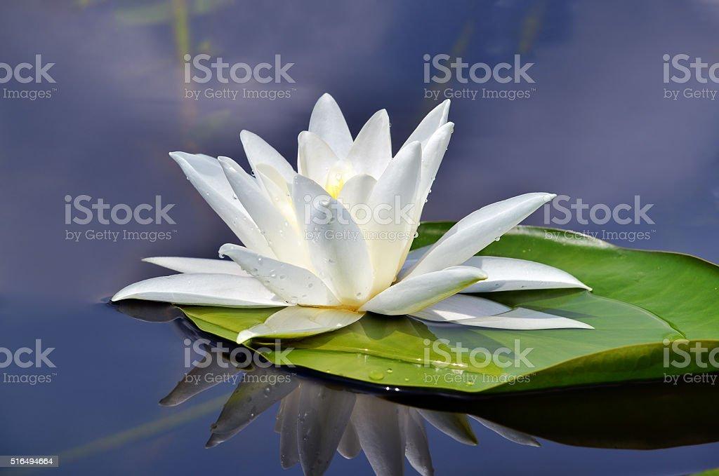 Beautiful waterlily in the lake stock photo