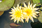 Beautiful waterlily or lotus flower blooming in the pond