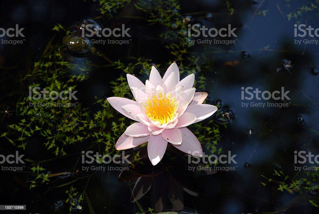 Beautiful waterlily royalty-free stock photo