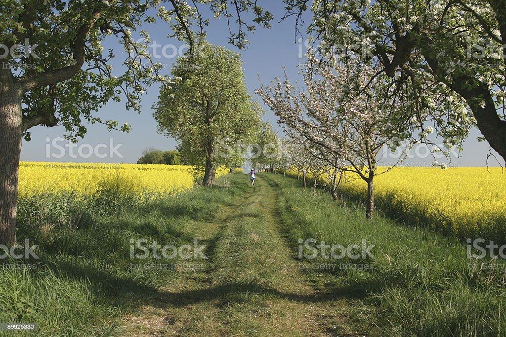 Beautiful Way between Canola Fields stock photo