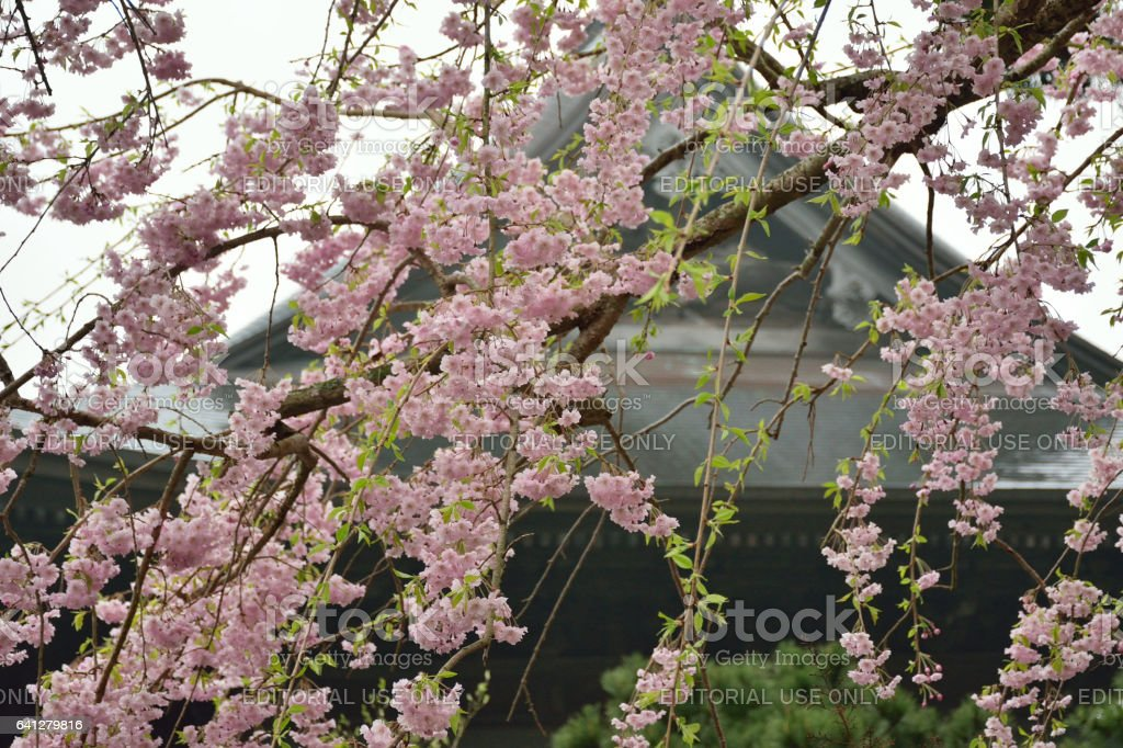 Beautiful weeping Cherry blossoms at a Zen temple in Kamakura stock photo