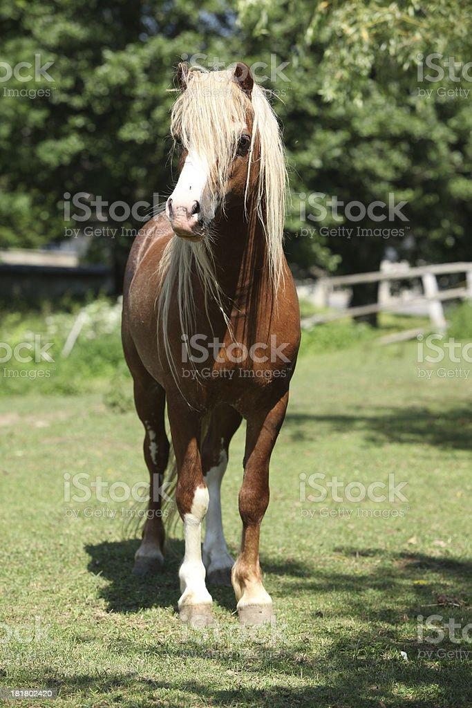 Beautiful welsh mountain pony stallion on pasturage stock photo
