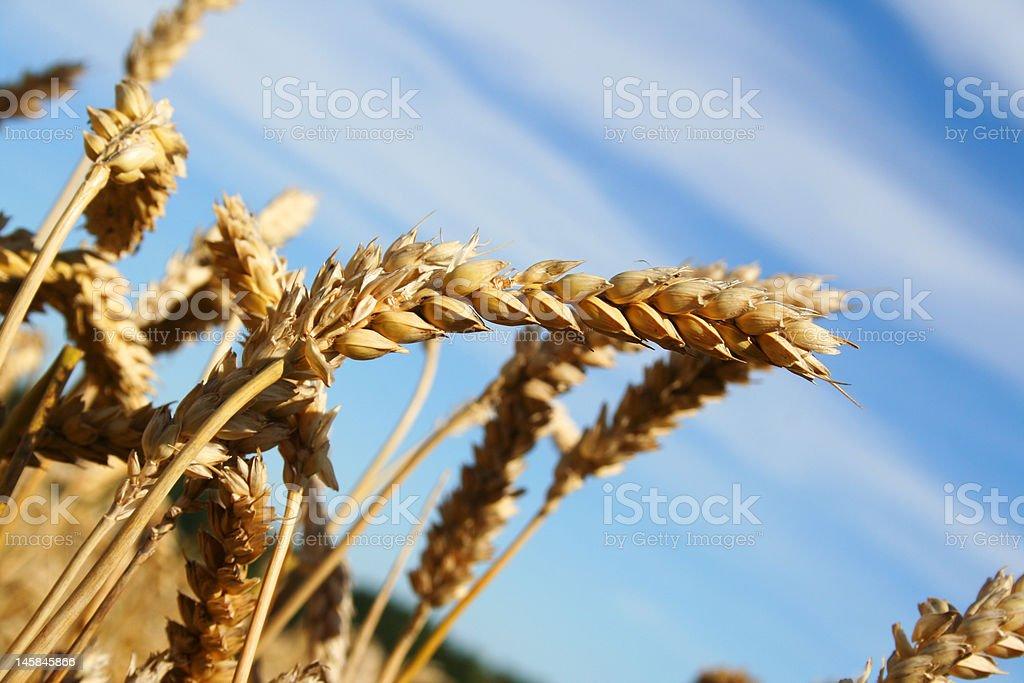 Beautiful wheat (rye) ear on the fieal royalty-free stock photo