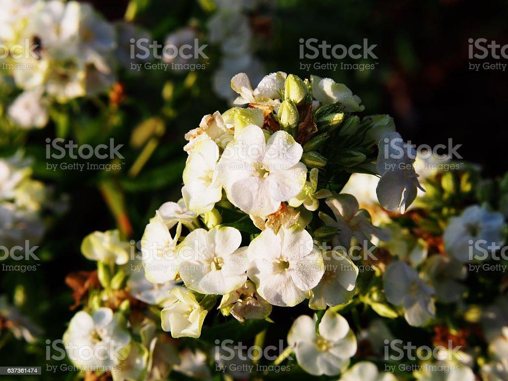 Beautiful white and green flowers of Phlox paniculata 'Jade' stock photo