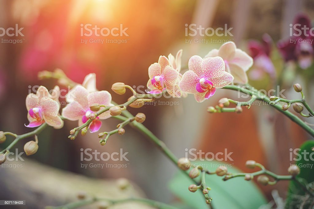 Beautiful White and Pink Dendrobium orchid stock photo