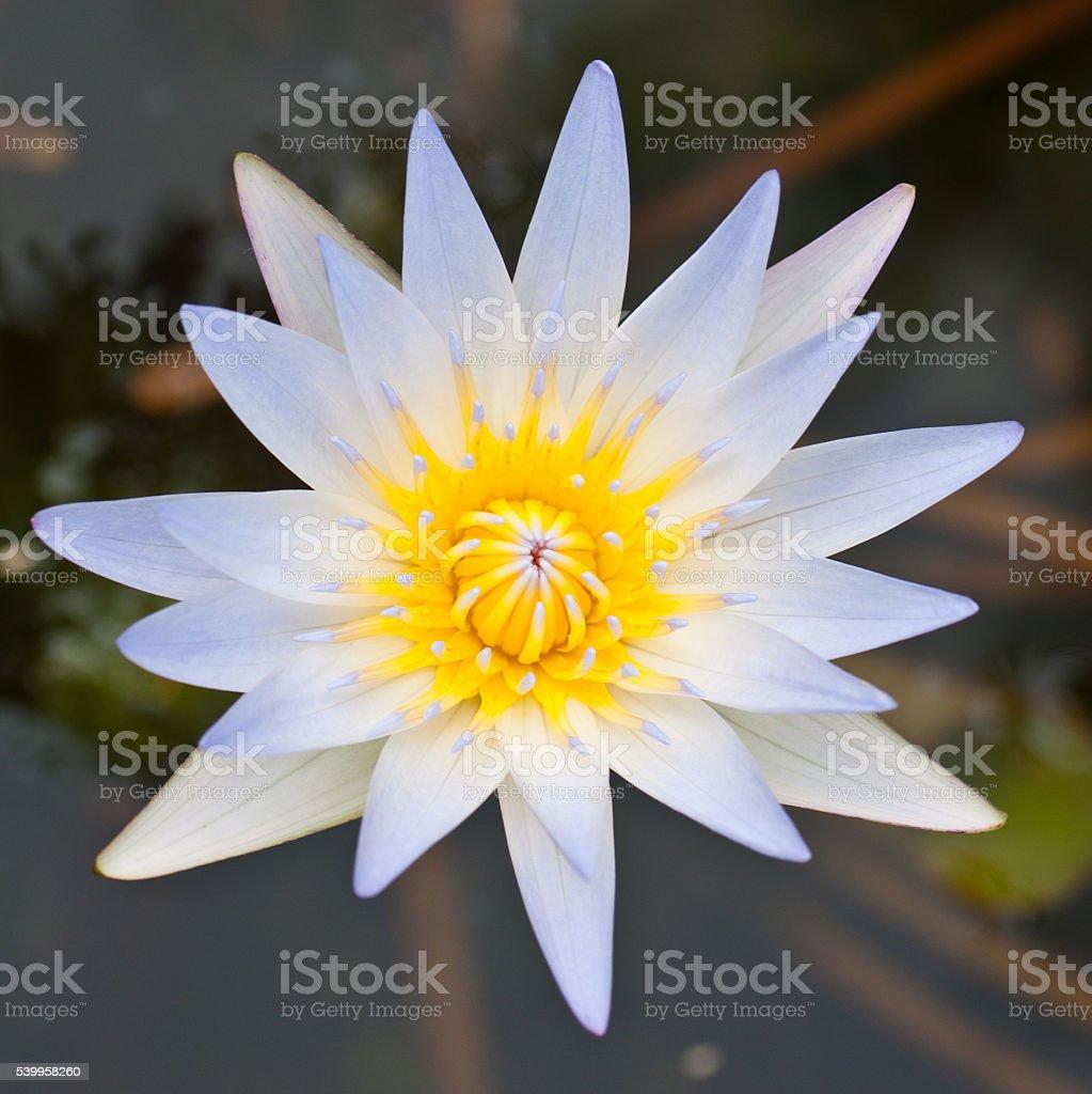 Beautiful white blooming lotus stock photo