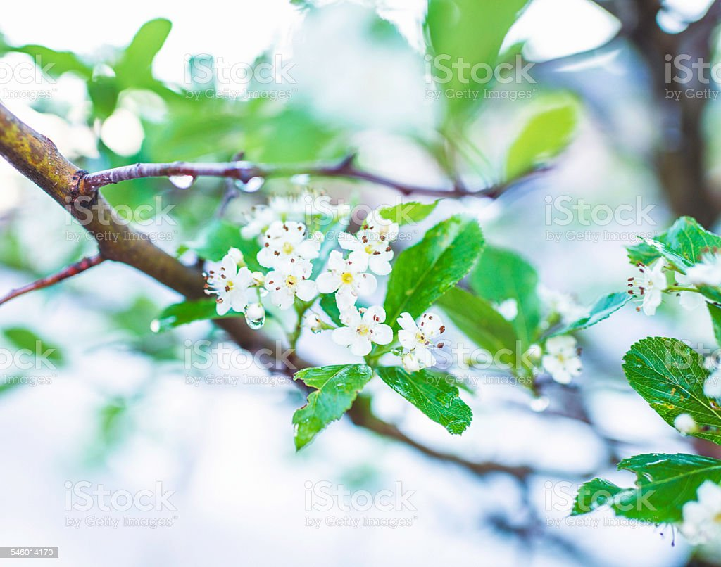 Beautiful white blossoms in natural sunlight stock photo