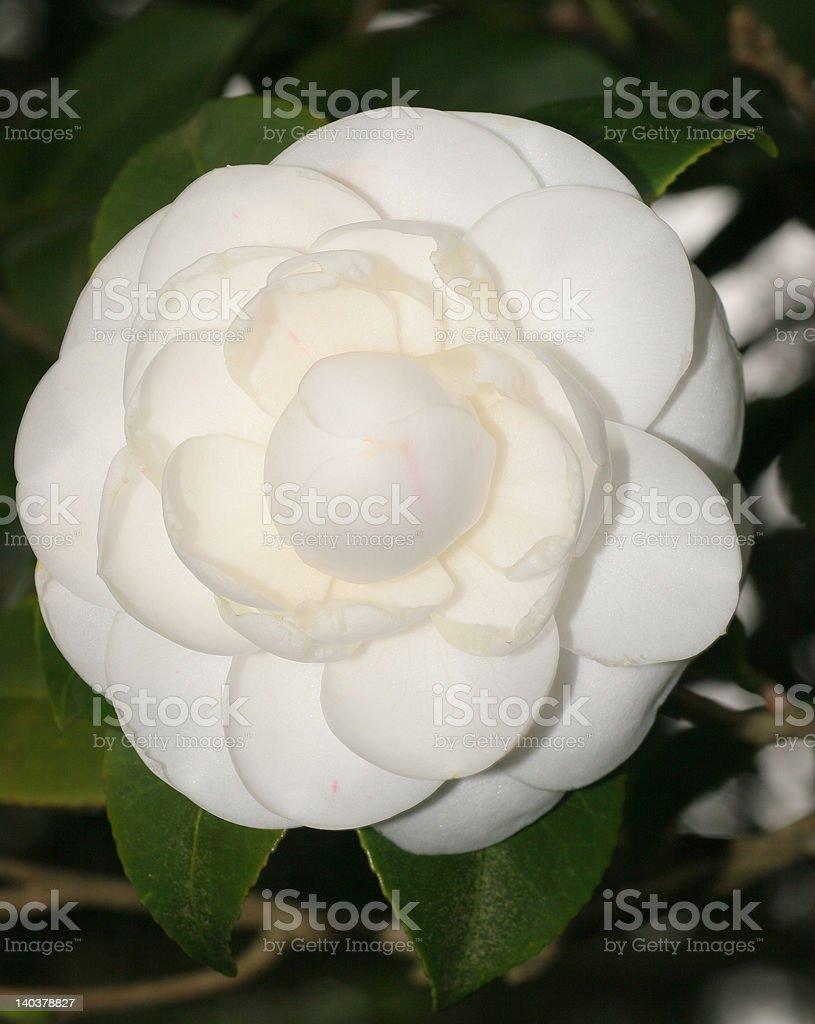 Hermosa flor blanca Camelia foto de stock libre de derechos
