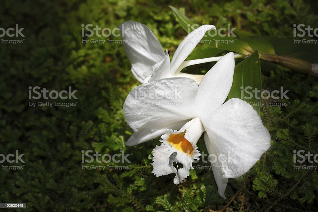 Beautiful white Cattleya orchid on green royalty-free stock photo