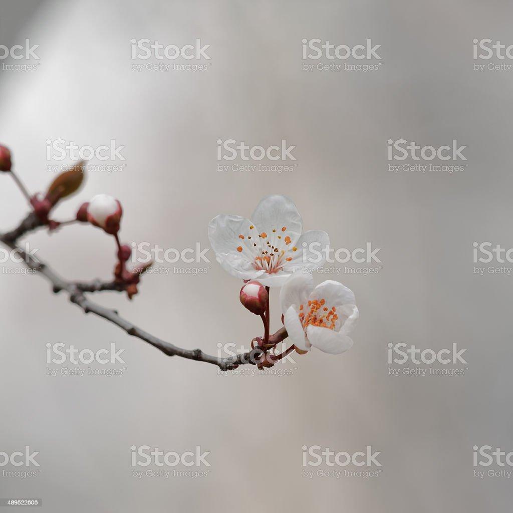 Beautiful white Cherry blossom against blurry background, sakura flowers. stock photo