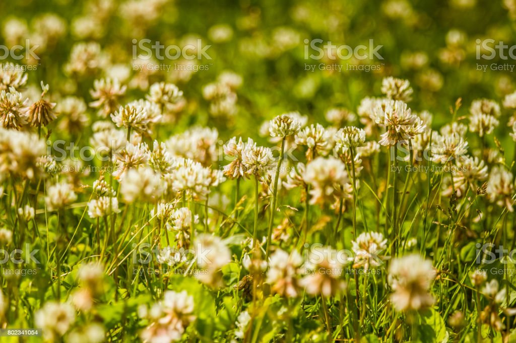 Beautiful white clover flowers in a meadow in summer stock photo