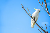 beautiful white cockatoo perched on branch
