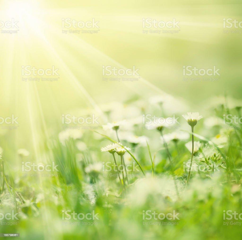 Beautiful white daisies illuminated by rays of sunshine stock photo