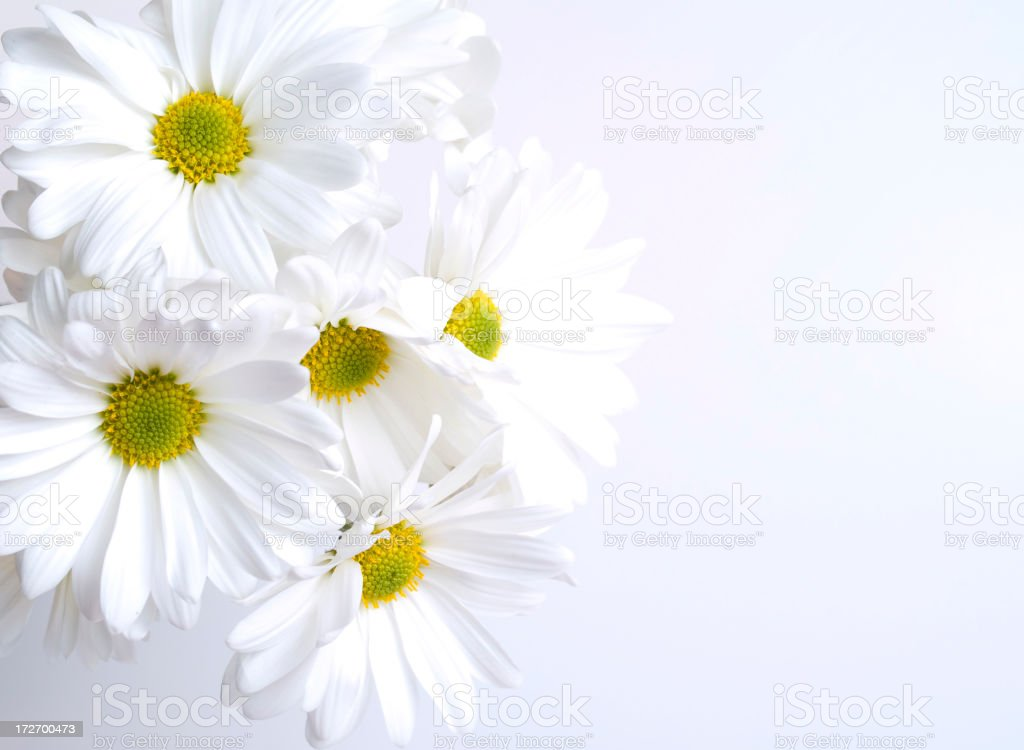 Beautiful White Daisies in bloom, on a white background royalty-free stock photo