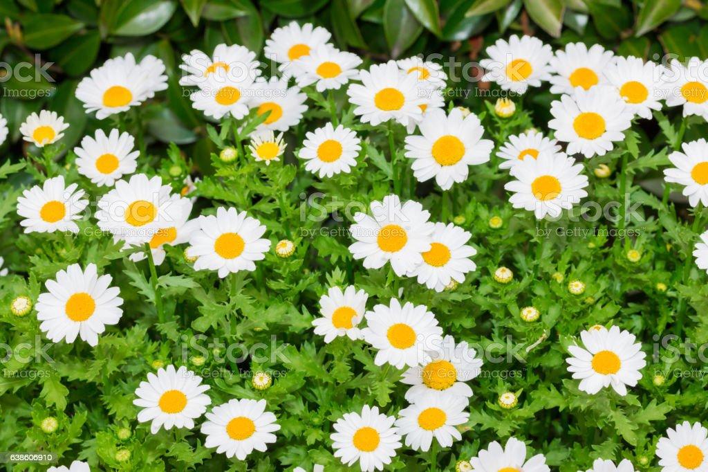 Beautiful White daisy fresh flower in garden. stock photo