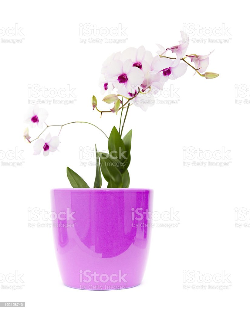 beautiful white dendrobium orchid royalty-free stock photo