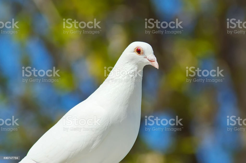 beautiful white dove close-up stock photo