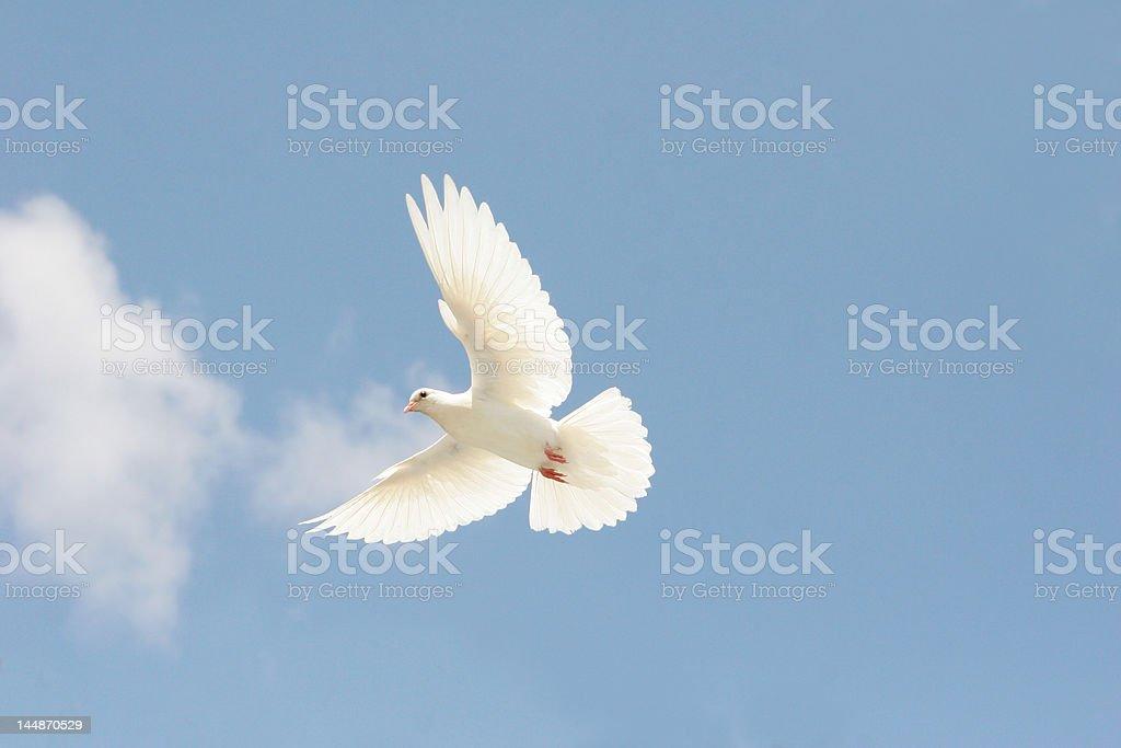 Beautiful white dove flying stock photo