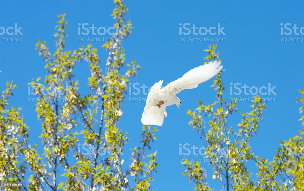 beautiful white dove in flight stock photo