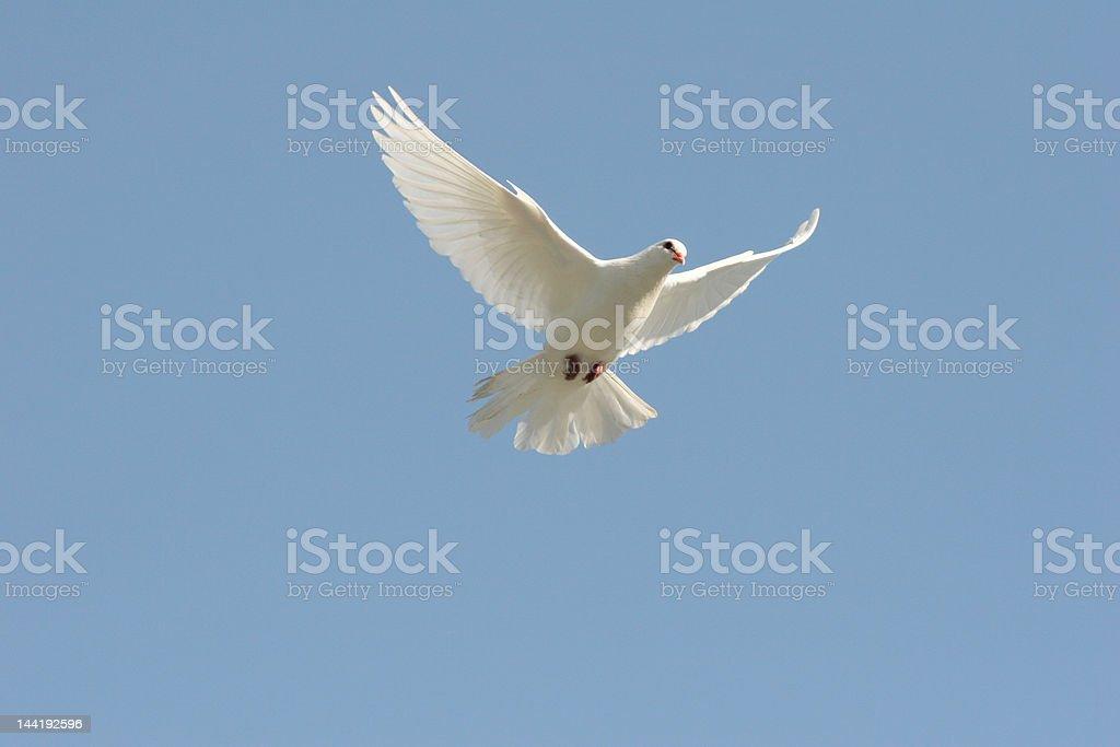 Beautiful white dove royalty-free stock photo