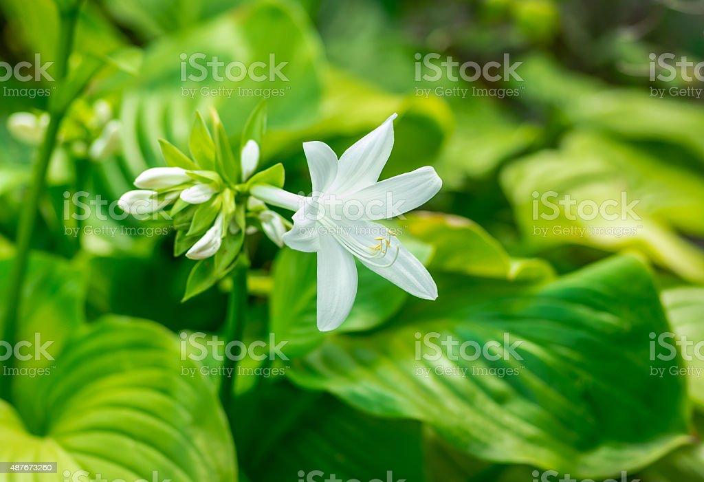 beautiful white flower blooming Hosta stock photo