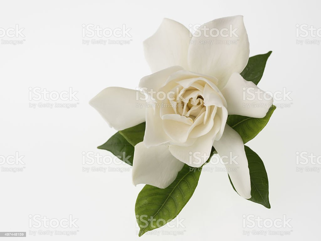 Beautiful white gardenia isolated on white background stock photo