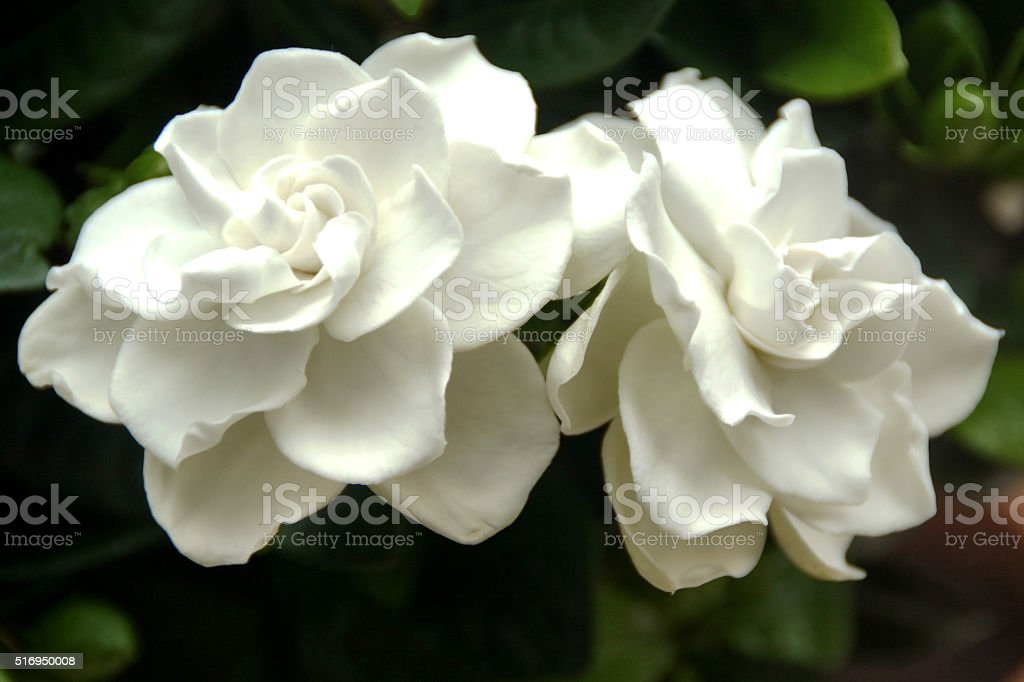 Beautiful white gardenia-flowers. stock photo