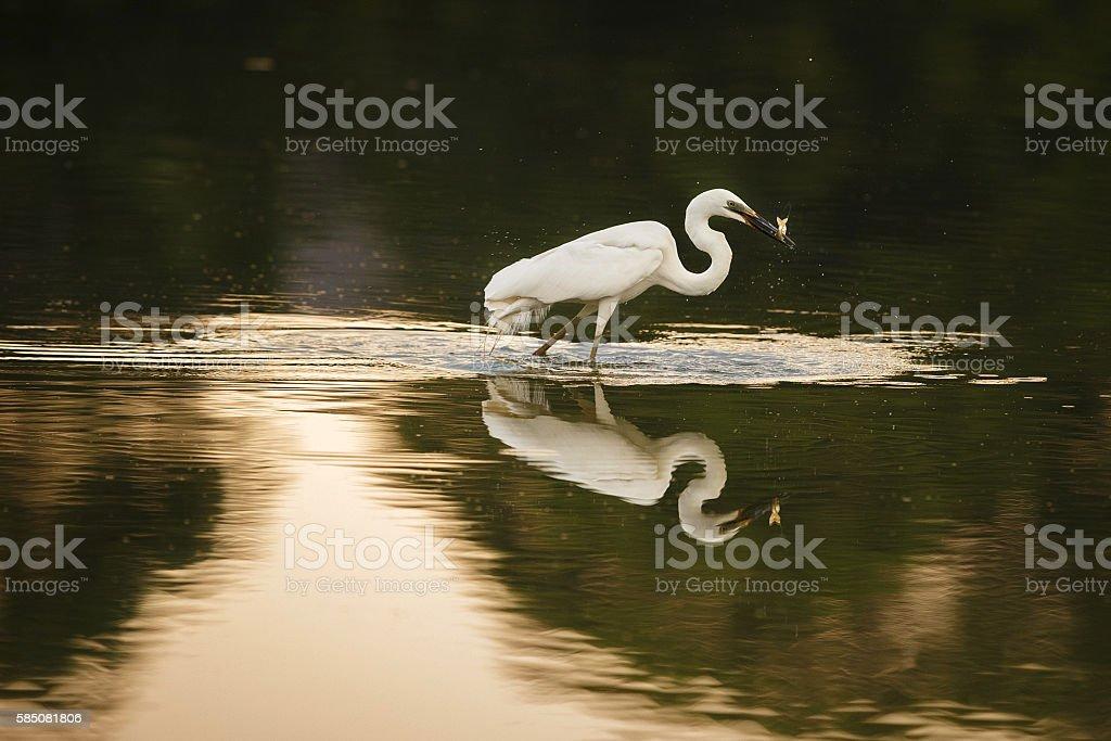 Beautiful white heron hunt in the nature habitat stock photo