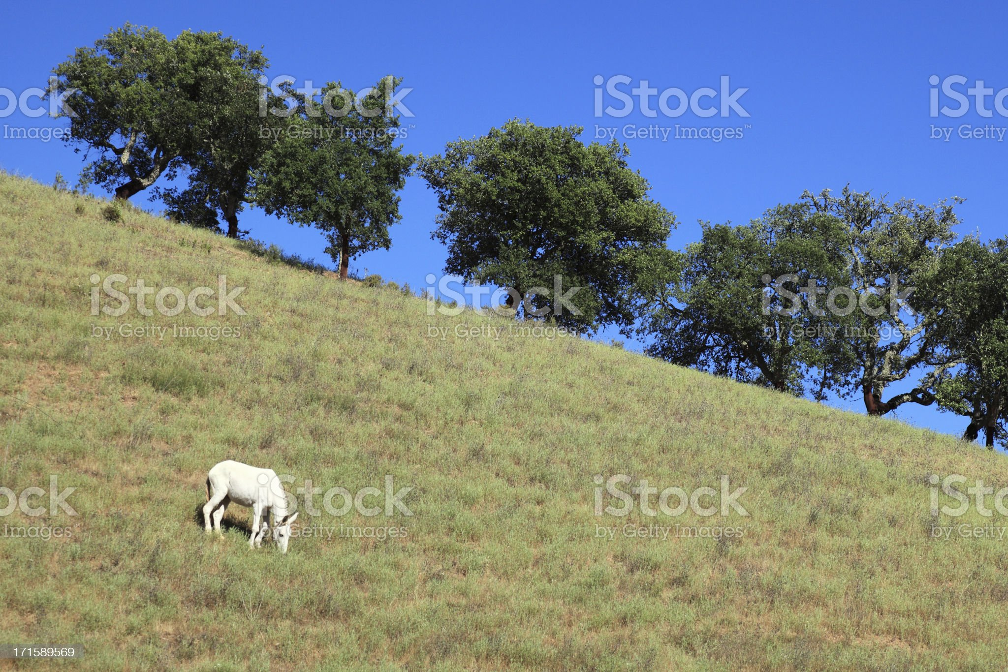Beautiful white horse graze on the lawn royalty-free stock photo