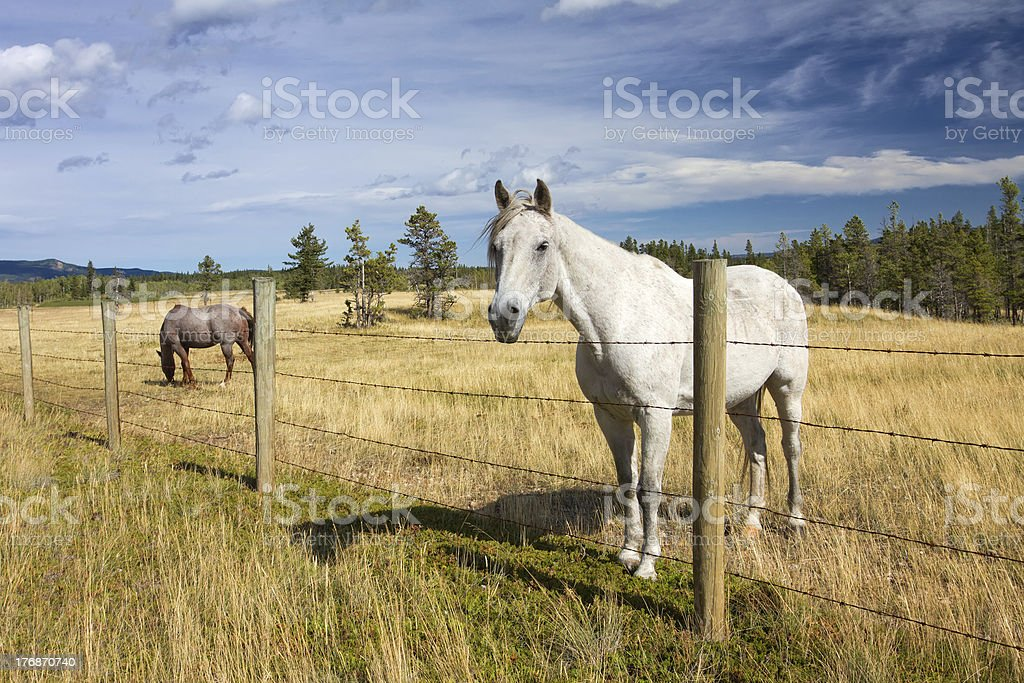 Beautiful white horse standing near a fence stock photo