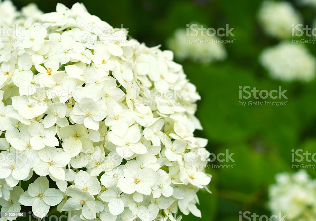 Beautiful white hydrangea in the garden stock photo