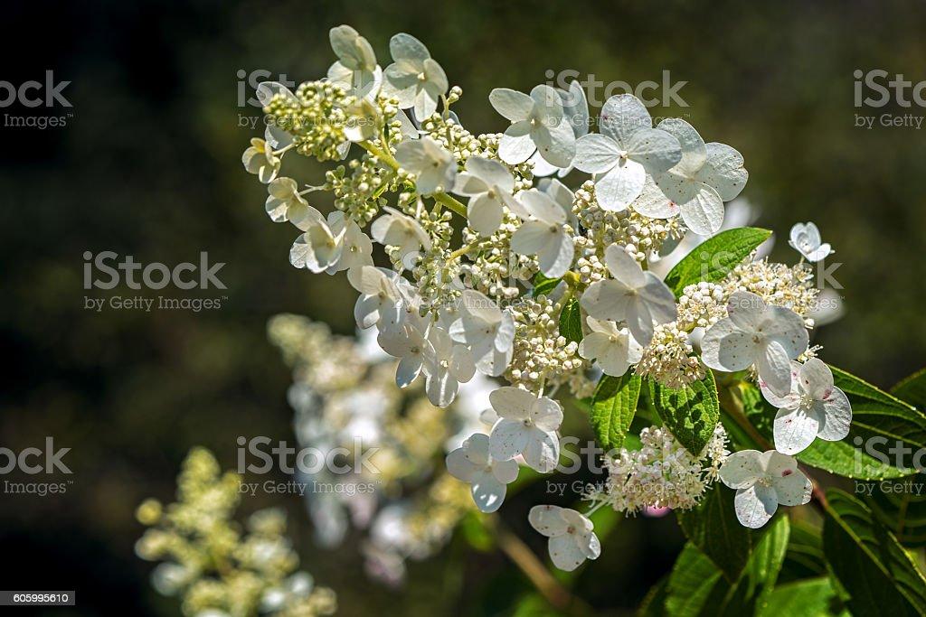 Beautiful white Hydrangea macrophylla in garden stock photo