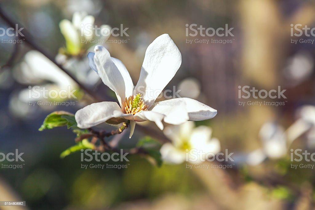 Beautiful white jasmine flower on branch stock photo