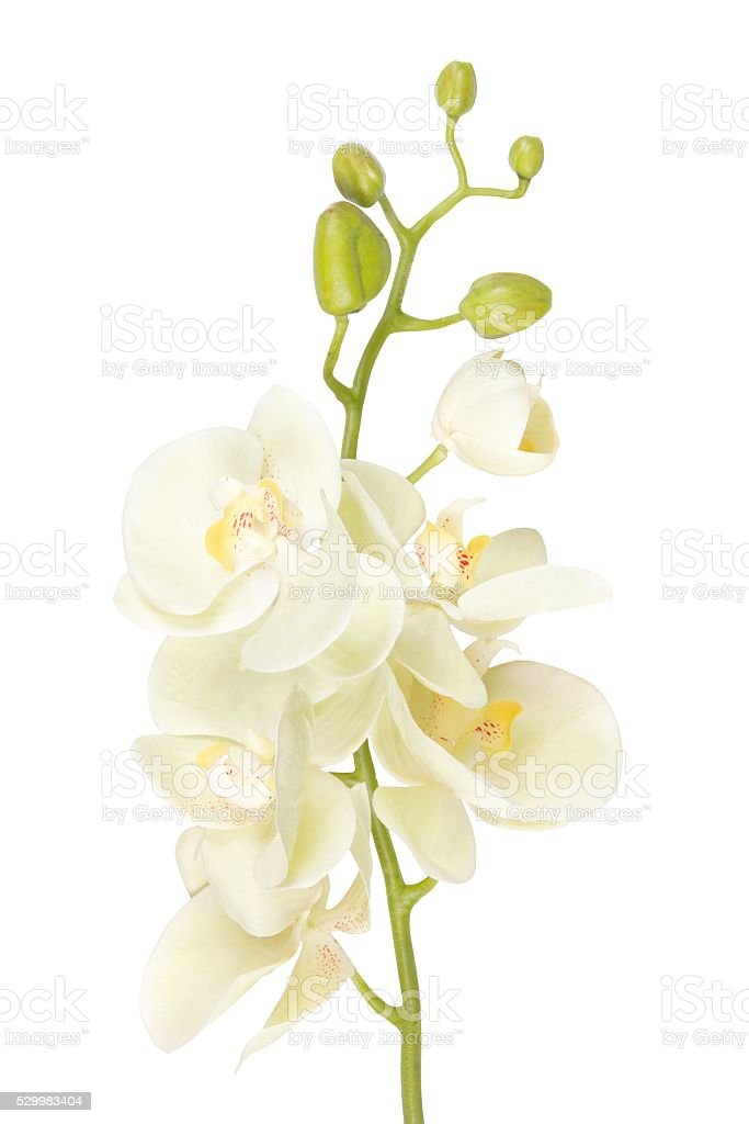 beautiful white orchid flower isolated on white stock photo