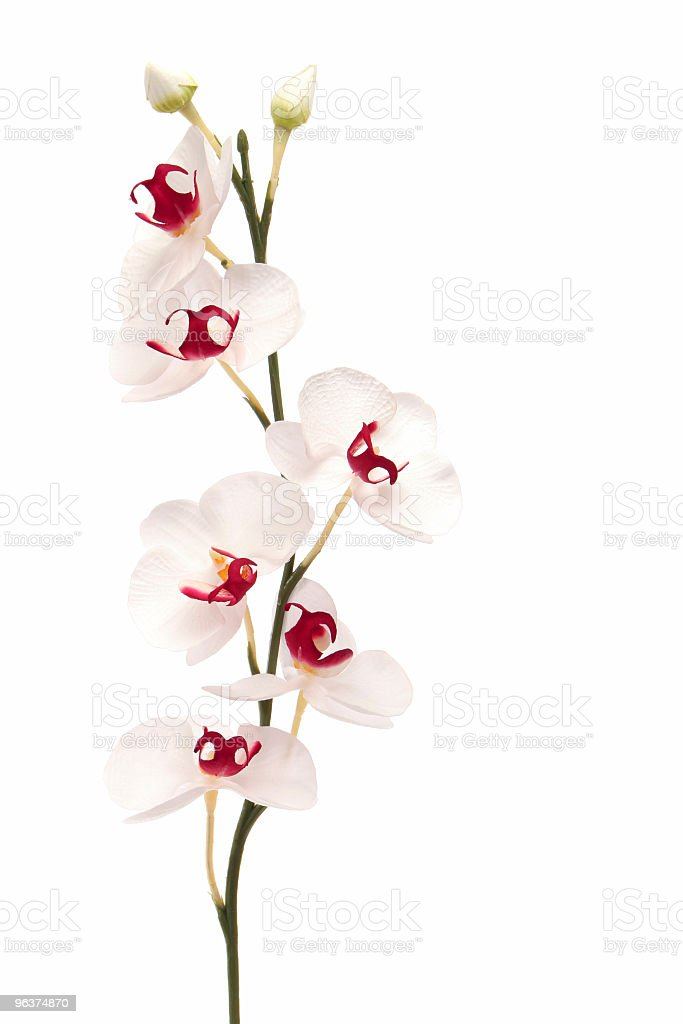 Beautiful white orchid on isolated background royalty-free stock photo