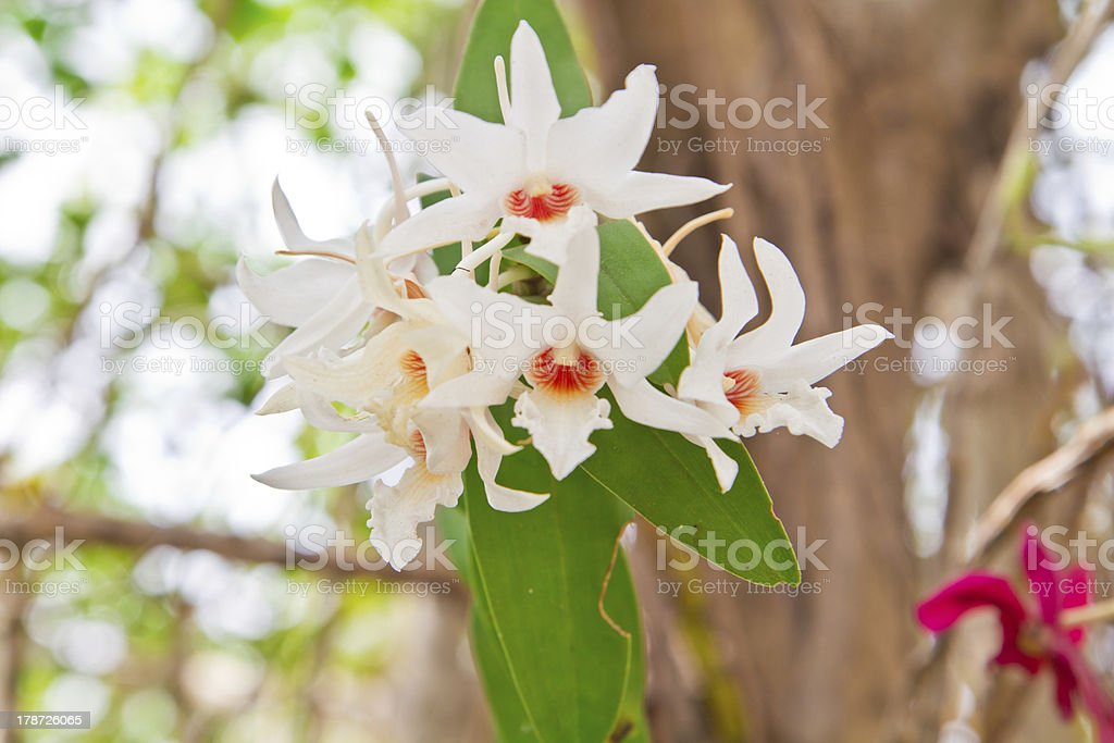 Beautiful white orchid royalty-free stock photo